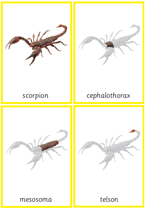 Montessori Scorpion Nomenclature 3-Part Cards