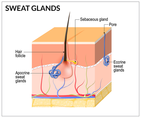 facts about sweat glands