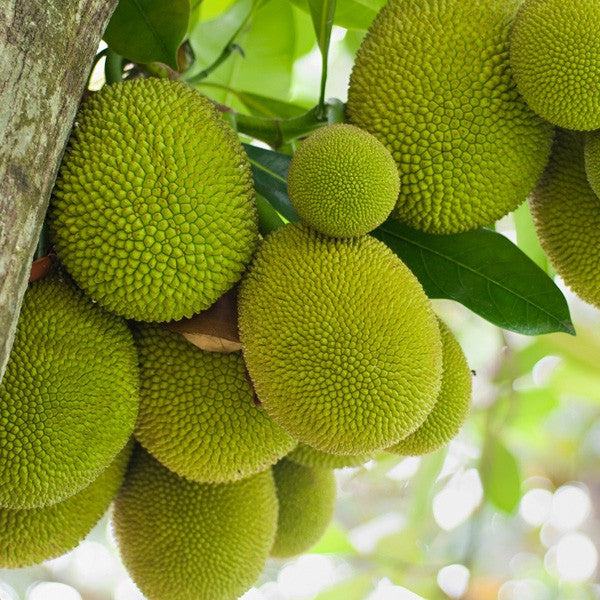 Jackfruit Flavor Concentrate