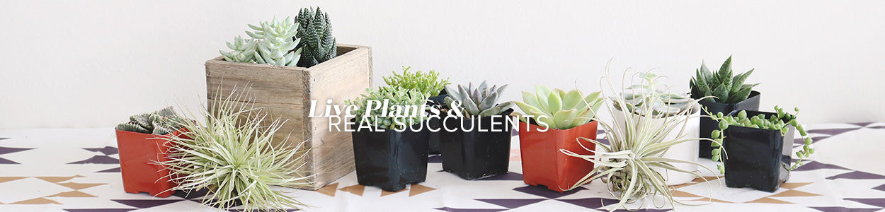 Live Plants and Real Succulents | Live Succulents and Cactus Greenery