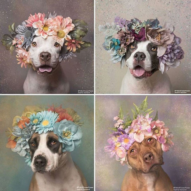 Pitbull Flower Power