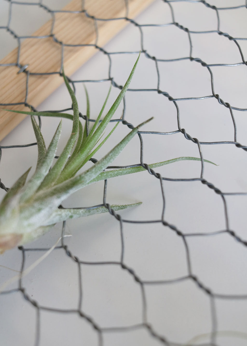 DIY Air Plant Chicken Wire Frame