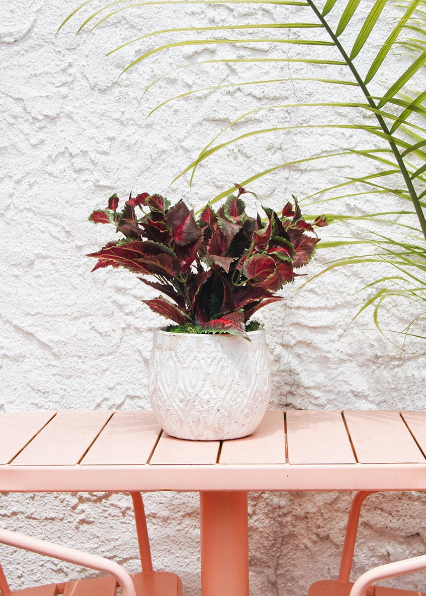 Burgundy UV Protected Outdoor Fake Coleus Plant