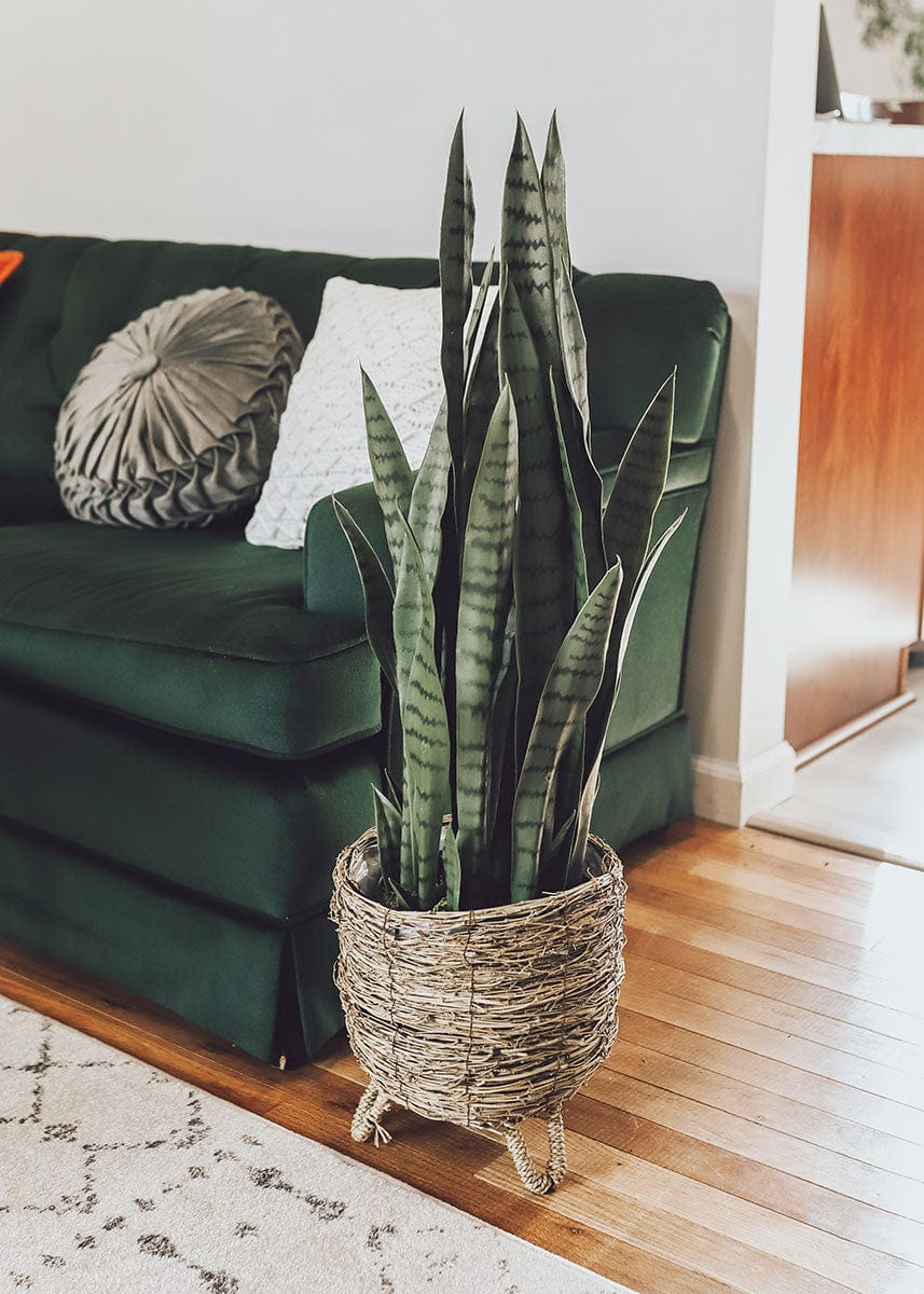 Faux Snake Plant in Branch Basket