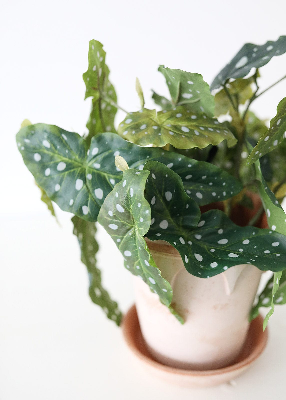 Fake Spotted Begonia House Plant