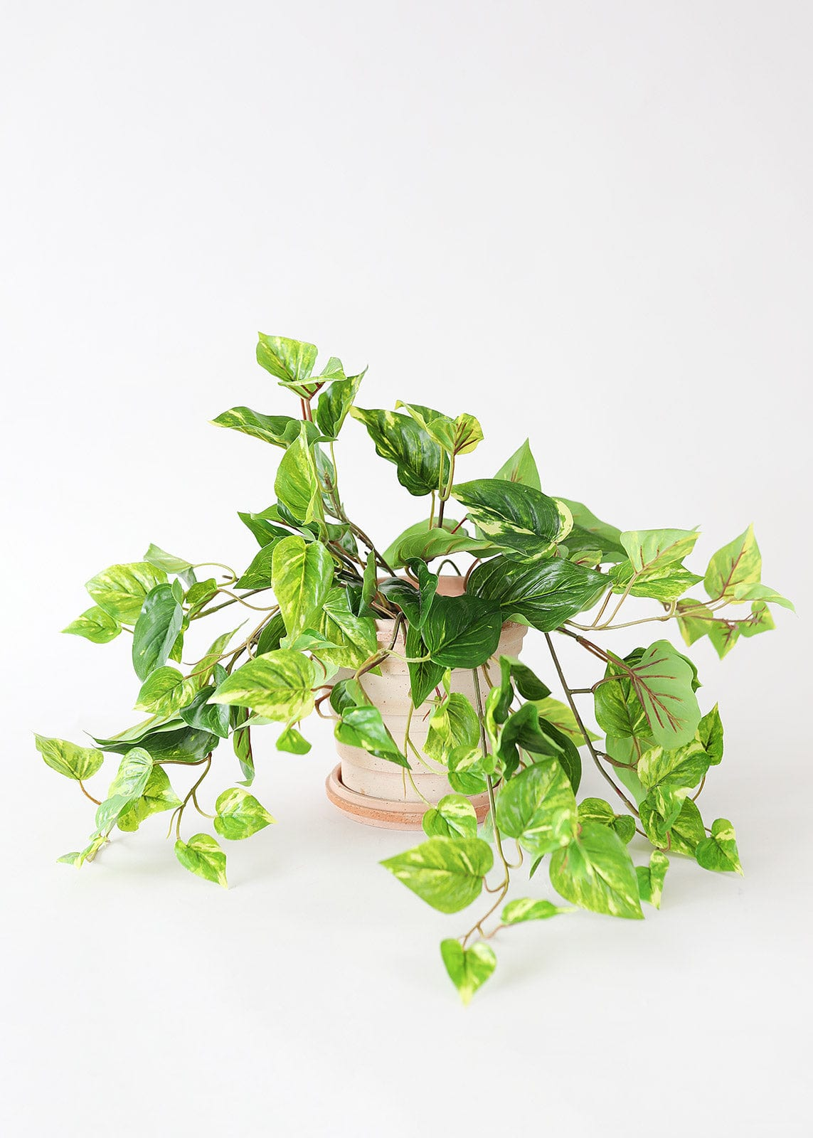 Indoor Outdoor Pothos Plant in Planter