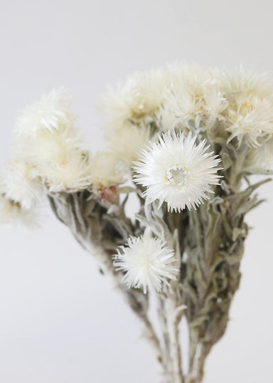 White Dried Everlasting Flowers