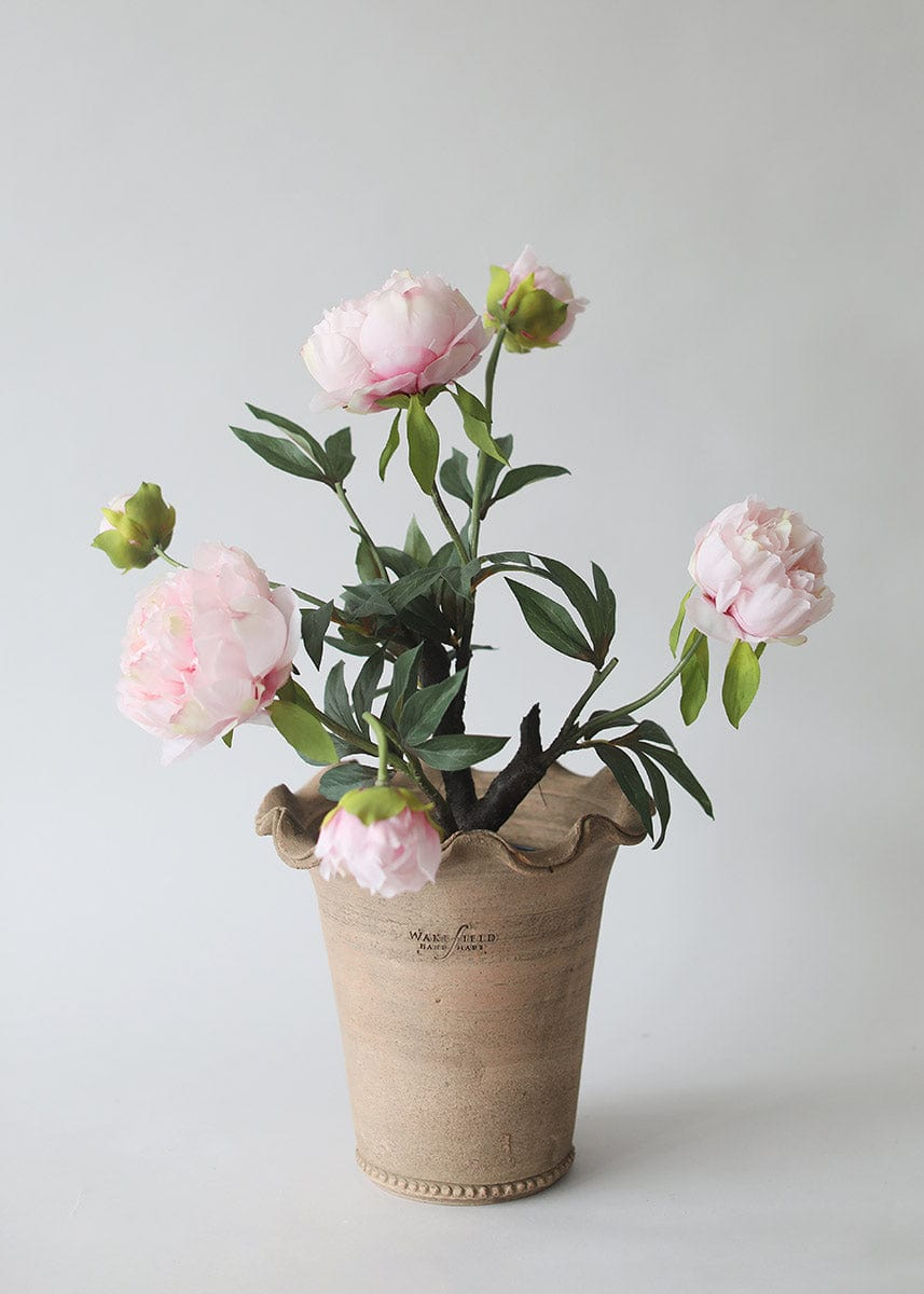 Pink Peony Plant in Wakefield Pot