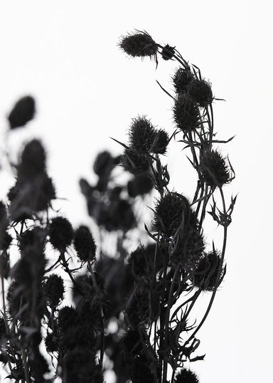 Black Dried Sea Holly Bundle