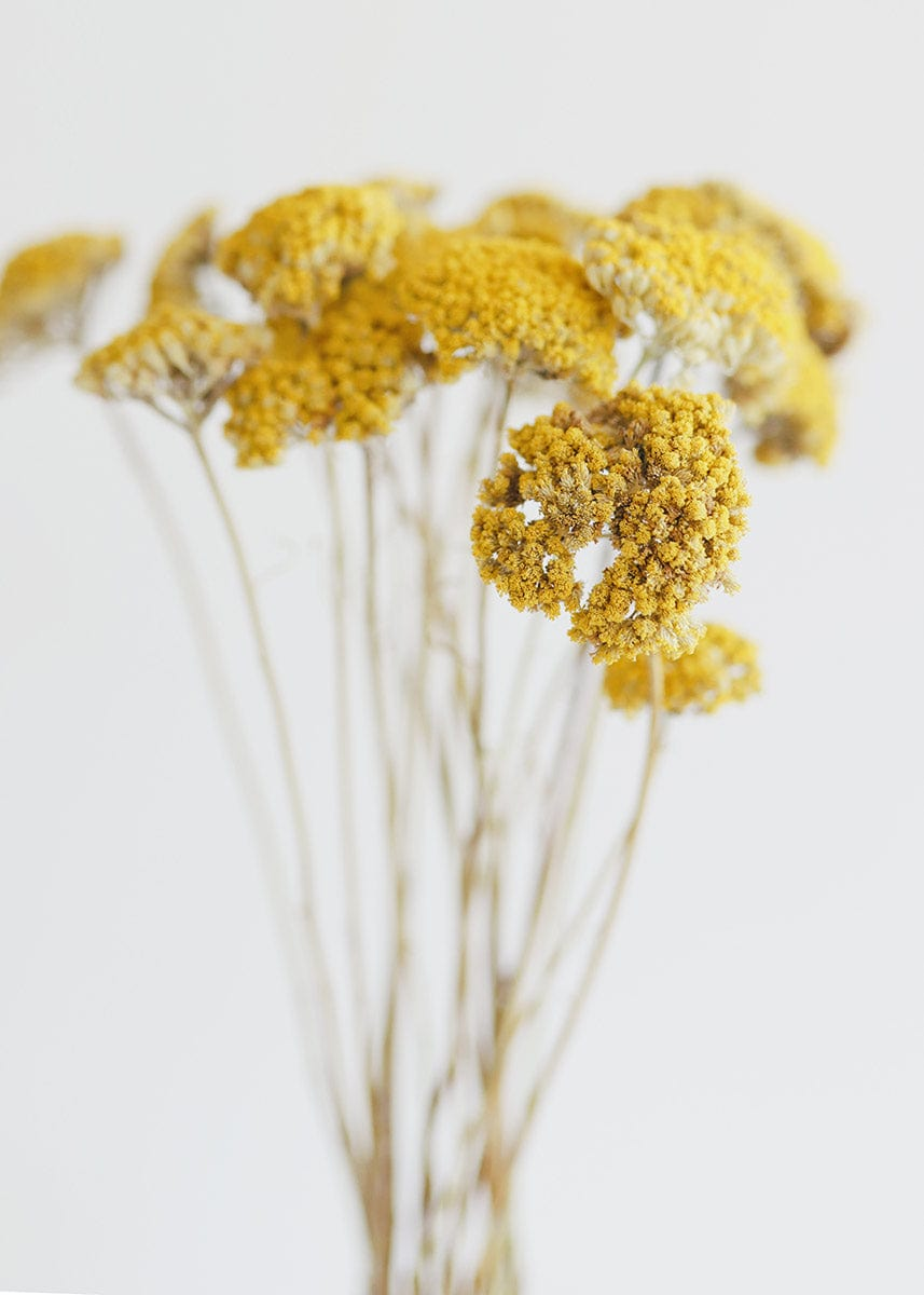 Yellow Dried Yarrow Bundle