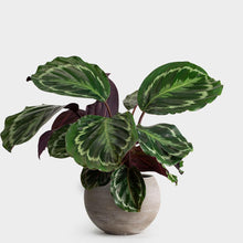 Load image into Gallery viewer, 'Medallion' / Calathea Roseopicta