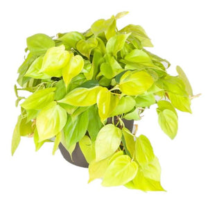 'Neon' Philodendron / Philodendron Cordatum