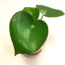 Load image into Gallery viewer, 'Raindrop' Peperomia / Peperomia Polybotrya