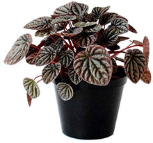 "Load image into Gallery viewer, ""Burgundy Black Ripple"" Peperomia / Peperomia Caperata"
