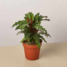 Load image into Gallery viewer, Velvet / Calathea