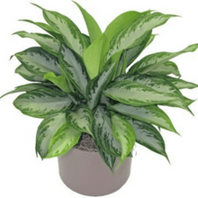 "Load image into Gallery viewer, ""Silver Bay"" Aglaonema / Chinese Evergreen"