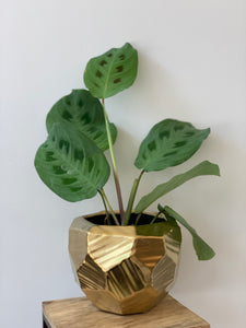 """Rabbit's Foot"" Prayer Plant/ Maranta Leuconeura 'Kerchoveana'"