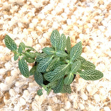 Load image into Gallery viewer, White Nerve Plant, Mosaic Plant, Net Plant / Fittonia 4""