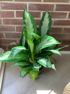 Chinese evergreen houseplant zuzu's petals chicago bridgeport flower shop buy plants gifts home