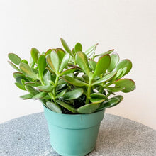 Load image into Gallery viewer, Jade Plant //  Crassula argentea, Crassula ovata