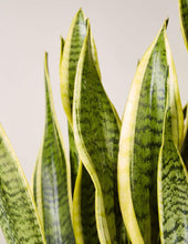 Load image into Gallery viewer, 'Laurentii Superba' Snake Plant / Sansevieria