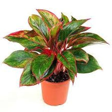Load image into Gallery viewer, Red Aglaonema