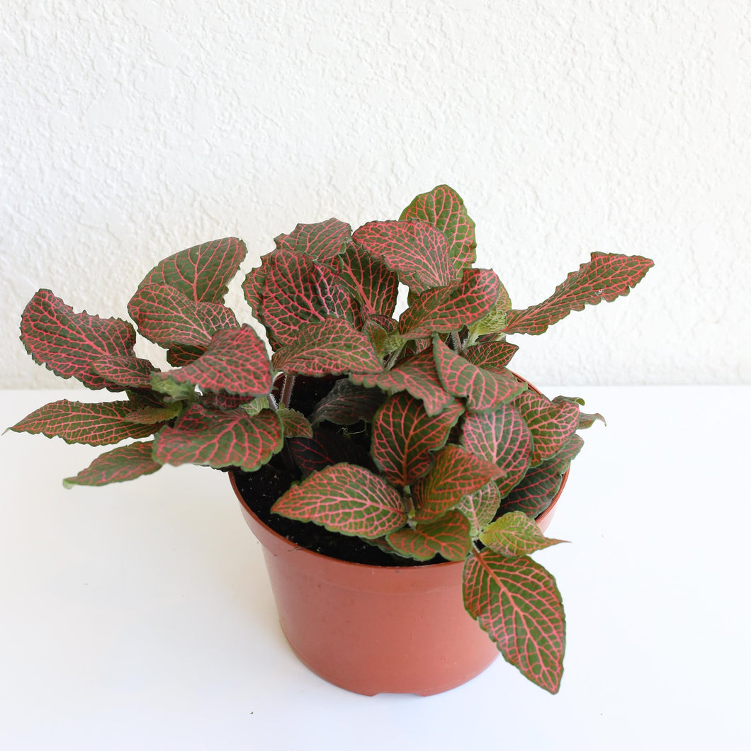 Red Nerve Plant, Mosaic Plant, Net Plant / Fittonia 4""