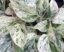 Load image into Gallery viewer, 'Snow Queen' Pothos / Epipremnum Aureum