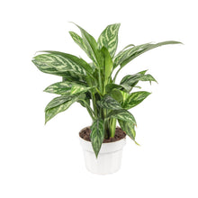 Load image into Gallery viewer, 'Tigress' Aglaonema / Chinese Evergreen