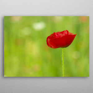 Beautiful Single Red Poppy Flower - Nice & Cool