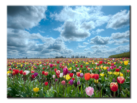 """Tulips"", 1 Panel Canvas Wall Art In L And XL Sizes"