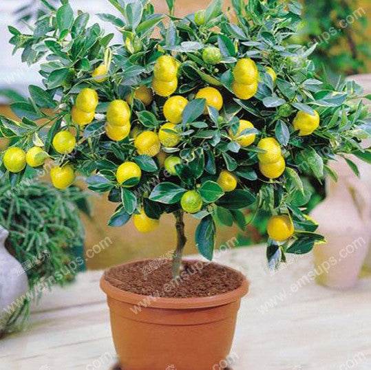 A Package 50 Pcs Citrus limon Tree Seeds Fruit Garden Terrace Seed Orchard Farm Family Potted Bonsai Tree Lemon Seeds