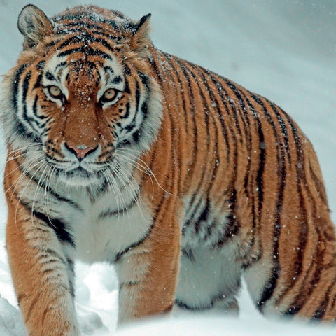 Amur Tiger Card