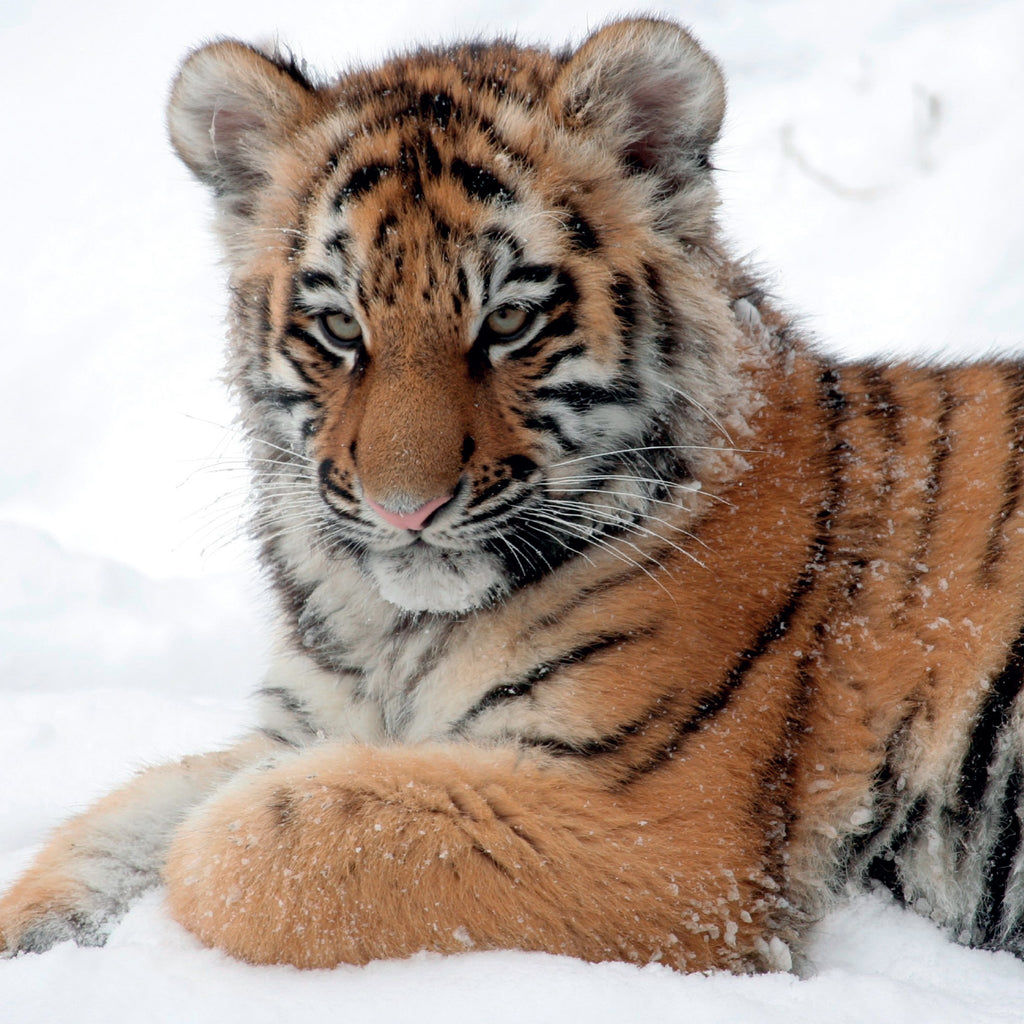 Tiger Cub Christmas Card 2018