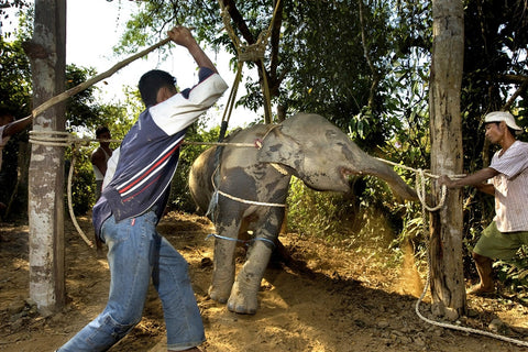 thai elephant breaking
