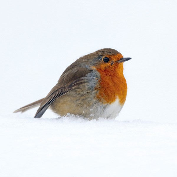 Christmas Cards 6 Pack - Robin Red Breast