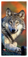 "Reclining Gray Wolf 30"" x 60"" Microfiber Beach Towel"