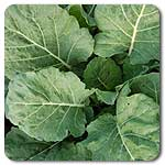 Champion Collard Greens