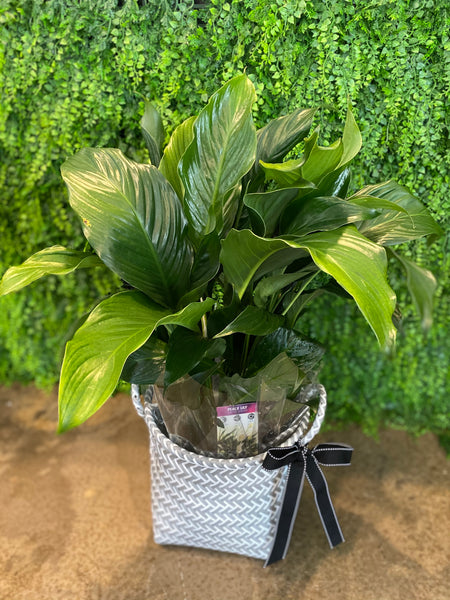 Peace Lilly in Decorative Basket