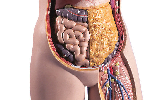 Scientists Propose New Human Body Organ – The Mesentery
