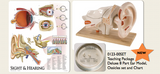 0123-00SET Auditory Anatomy Teaching package