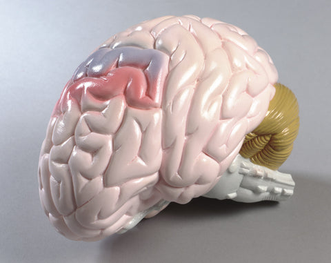 0155-00 Life-size Two-part Brain Model