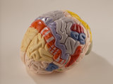 0172-00  Giant Functional Center Brain