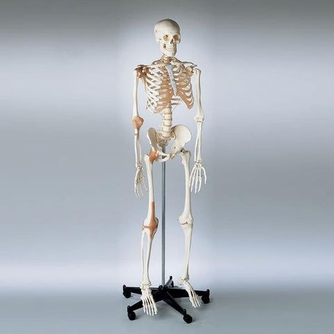0201-12 Ligamented Skeleton with Flexible Spine, Sacral Mount