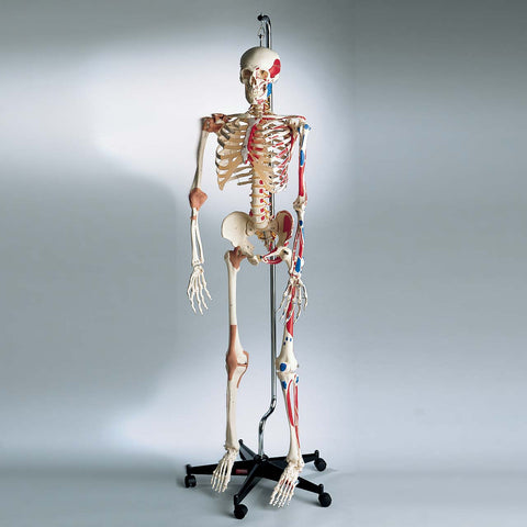 0207-13/1 All-In-One Super Skeleton, Hanging