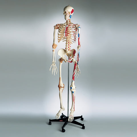 0207-13 All-In-One Super Skeleton, Sacral Mount