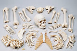 0218-80 Disarticulated FULL Skeleton, Premier 4-Part Skull