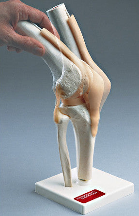 0232-82 Functional Knee Joint Model