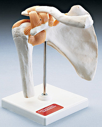 0235-80 Functional Shoulder Joint Model