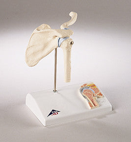 0235-Mi  Functional Mini-Shoulder Joint Model